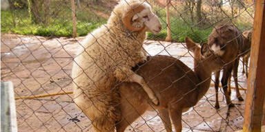 Schaf im Tierpark Kunming
