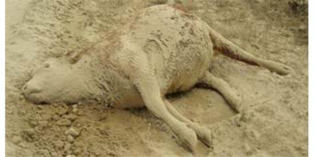 Schaf in Osttirol hat Scrapie