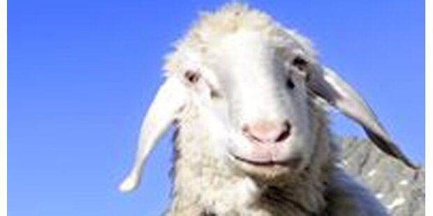 Zeugte 1.000 Lämmer: Teuerstes Schaf tot