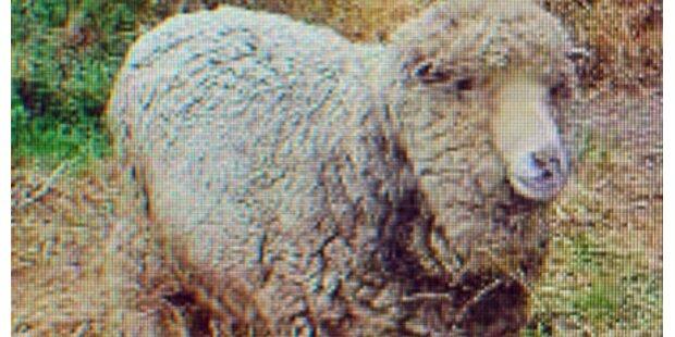 Ältestes Schaf der Welt gestorben
