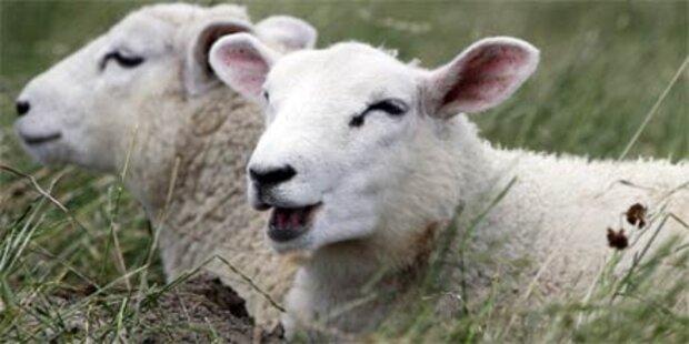 Raser fuhr 30 Schafe in den Tod
