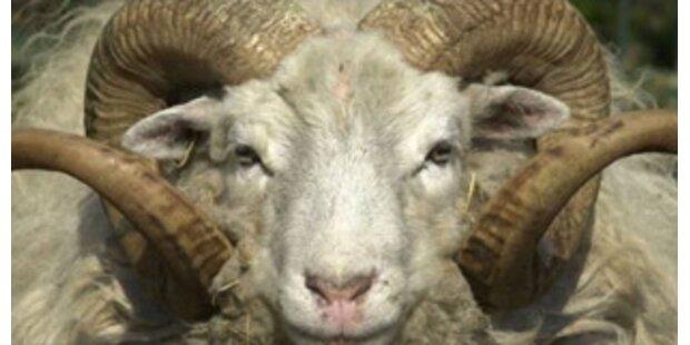 22 Schafe bei Langenlois gestohlen
