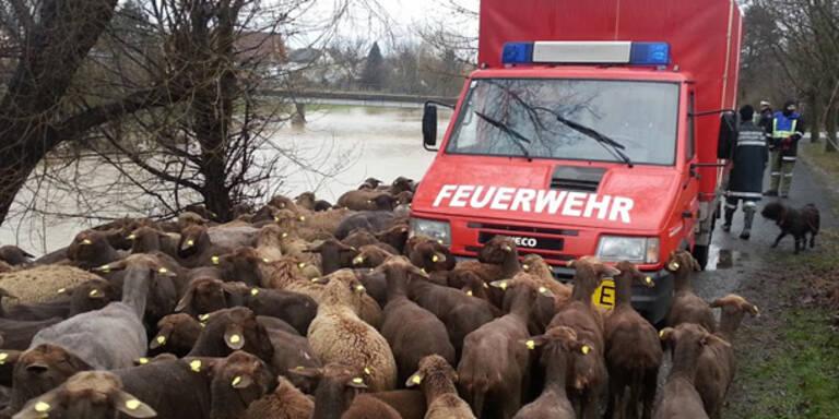 Feuerwehr rettet hunderte Schafe