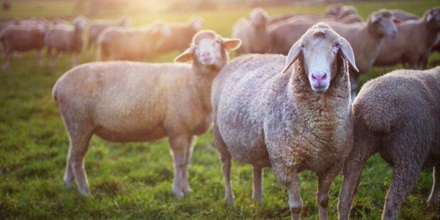 Hirtenproteste nach Tod von 125 Schafen