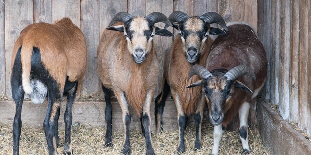 Schafe sorgen für Sperre der A7