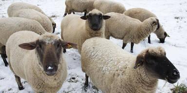 Drei Schafe im Pitztal gerissen