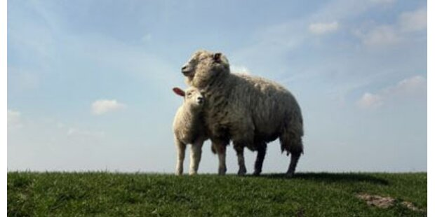 8 Schafe durch Stich in den Hals getötet