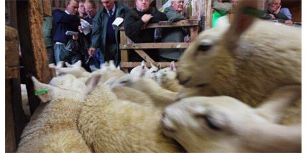 Schaf für mehr als 260.000 Euro verkauft