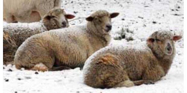 Dutzende Schafe in Osttirol erfroren