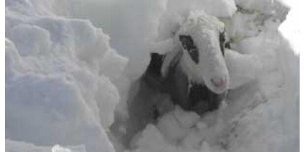180 Tiere qualvoll im Schnee verendet