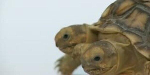 Sensationell! Siamesische Schildkröte