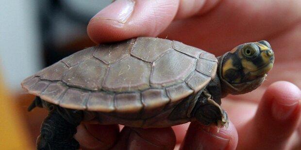 771 Babyschildkröten in Socken geschmuggelt