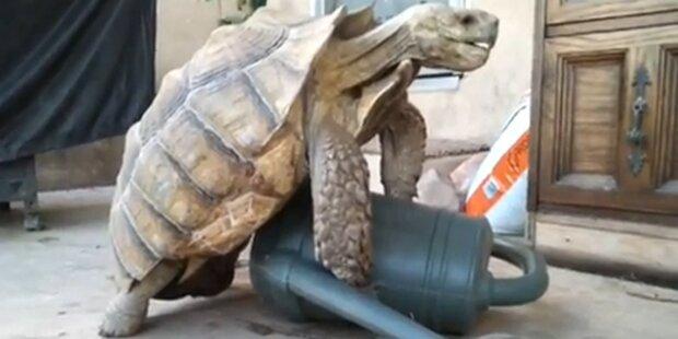 Schildkröte beim Sex mit Gießkanne gefilmt