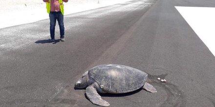 Strand weg: Schildkröte legt Eier auf Startbahn
