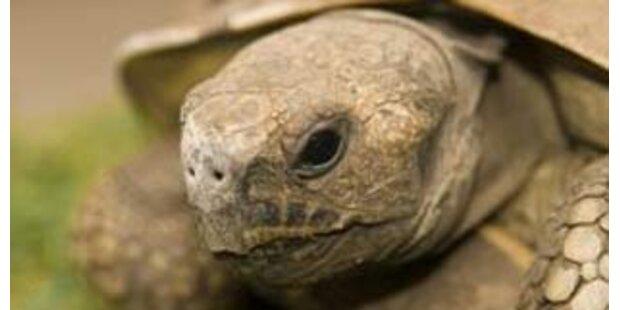 Rabiate Schildkröte brach Koch einen Zehen