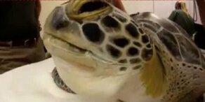 Florida: Zahnarzt rettet Schildkröte das Leben