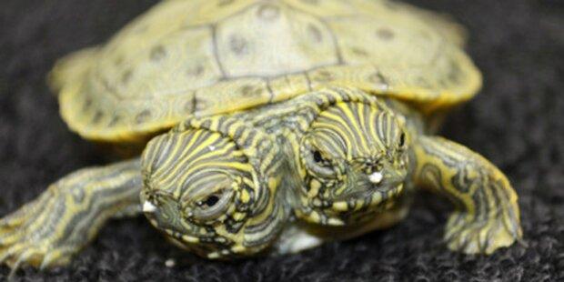 Steyr: Schildkröte mit zwei Köpfen geboren