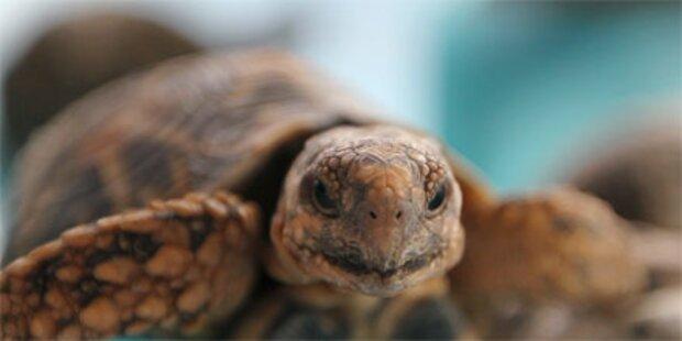 Mystische Schildkröte in Hanoi gesichtet