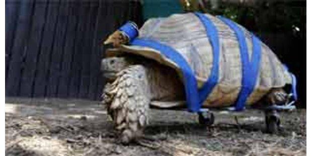 Rollstuhl für behinderte Schildkröte