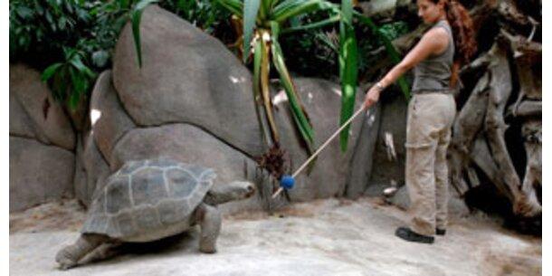 Training für die Riesenschildkröten