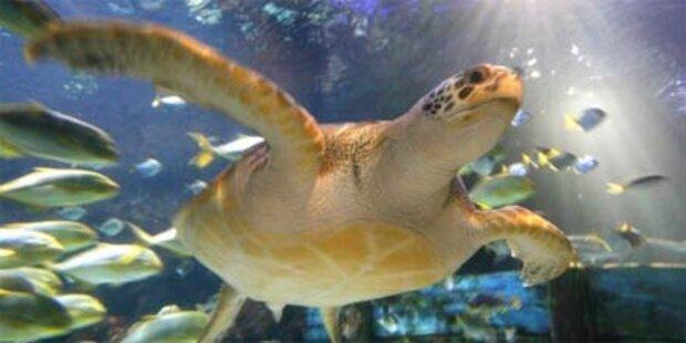 Schildkrötenfleisch: 6 Tote auf Mikronesien