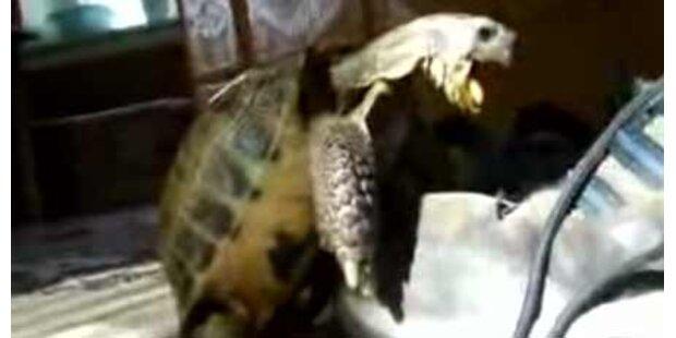 Schildkröte versucht Schuh zu beglücken