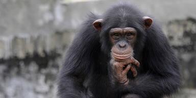 Affe bringt Drohne zum Absturz