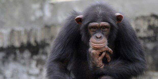 Schimpansen betrinken sich mit Palmsaft