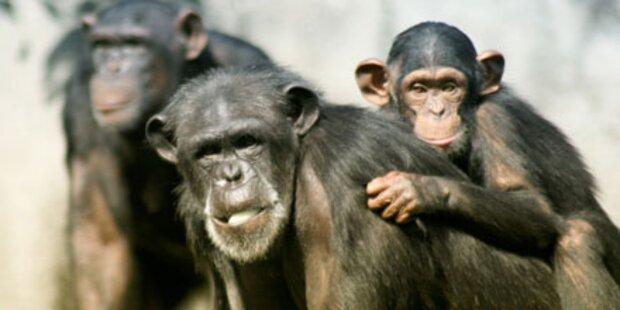 Können Singles von Schimpansen lernen?