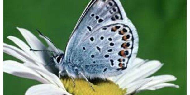 Schmetterlinge erinnern sich an Larvenstadium