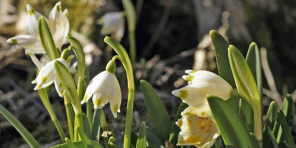 Schneeglöckchen blühen immer früher