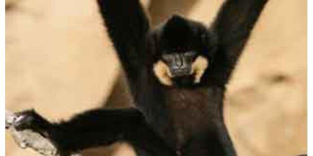 Große Kolonien bedrohter Affen-Arten entdeckt