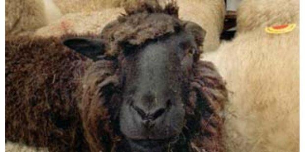Happy End für verirrte Schafherde