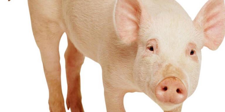 Schwein, Tier