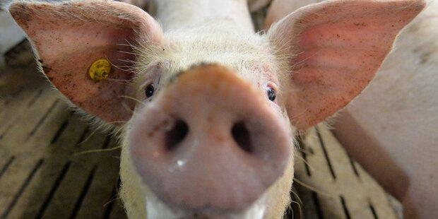 Neo-Nazi-Aufmarsch mit Schweinen gegen Flüchtlinge