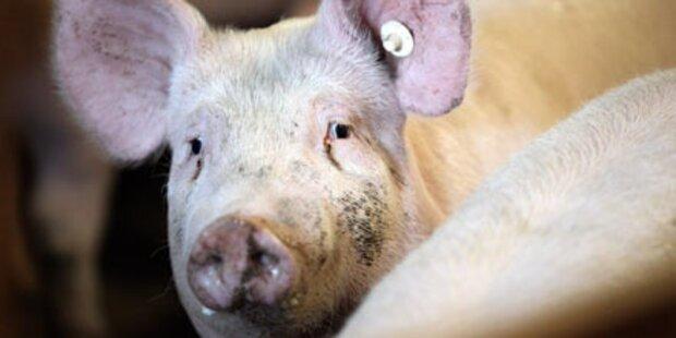 Schweinemarkt soll stabilisiert werden
