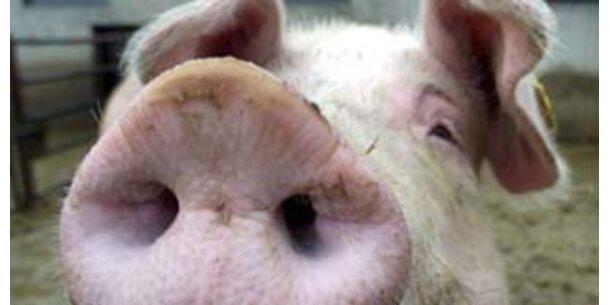 Schweinepest in der Slowakei