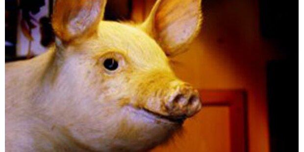 16 Schweine bei Brand verendet