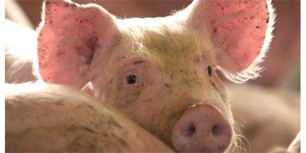 Schweinekopf an Prager Moschee gefunden