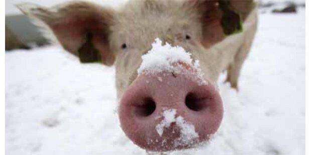 Lawinenschweine: Keine Tierquälerei