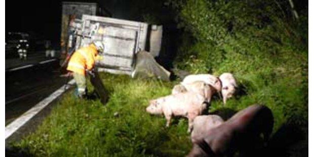 Zwei Unfälle bei Schweinetransport an einem Tag