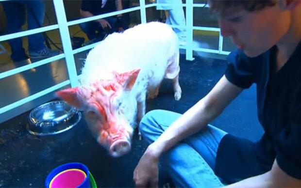 Drama um UV-Strahlen auf Schwein