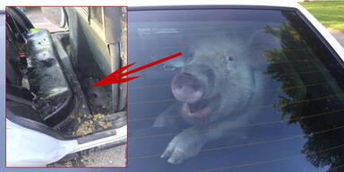 Internet-Hit: Schwein macht in Polizeiauto