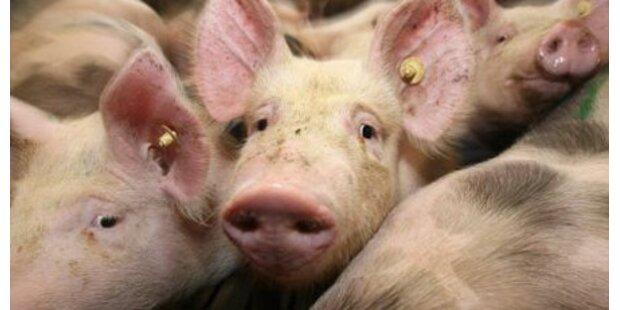 Schweden kochen Schweine lebend