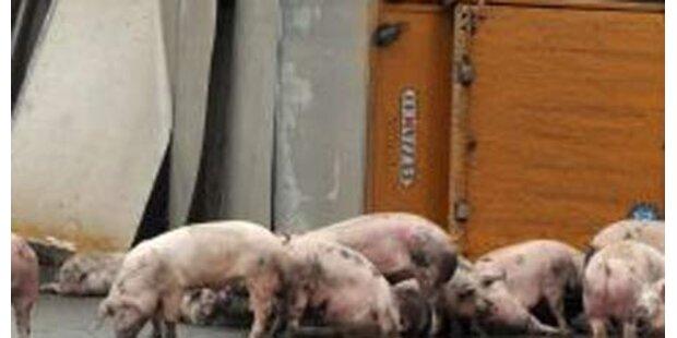 35 Schweine bei Unfall in Stmk verendet