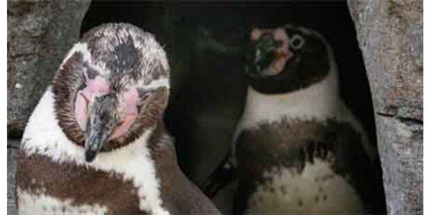 Schwule Pinguine adoptierten Küken
