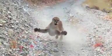 Puma verfolgt 26-jährigen Wanderer