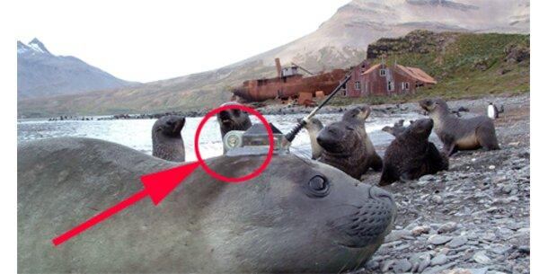 Seeelefanten gehen auf Sendung