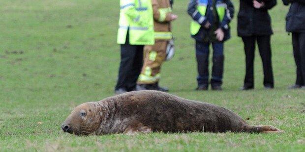 Seehund strandet auf Wiese