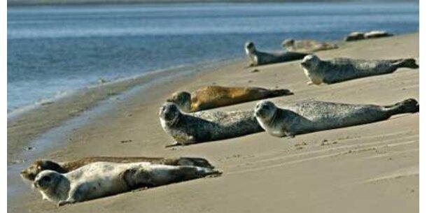So viele Seehunde wie noch nie